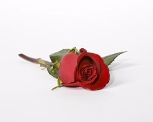 red-rose-ii-1284581-m